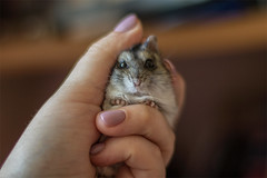 hamster (mormart) Tags: hamster russia siberia tomsk pet funny хомяк россия сибирь томск грызун питомец