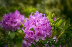 ... (kderricotte) Tags: bokeh flower plant bush depthoffield outdoor helios40285mm15 helios vintagelens sony sonya7ii