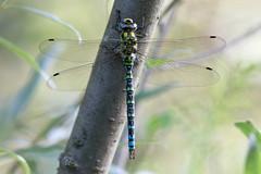 Blaugrüne Mosaikjungfer (Nereus[GER]) Tags: libelle segellibelle edellibelle canon eos 80d 300mm f4 is usm saarland nereusger smerlot blaugrüne mosaikjungfer aeshna cyanea