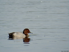 Common Pochard (Corine Bliek) Tags: aythyaferina bird birds vogel vogels nature natuur wildlife waterfowl watervogels eenden ducks lake water meer