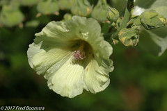 """During a walk with Jetje,  """"Alcea rosea"""" (A.J. Boonstra) Tags: alcearosea stokroos rose ef100mmf28lmacroisusm canon70d canoneos canon eefde plant closeup"""