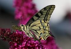 Schwalbenschwanz - Swallowtail (Hugo von Schreck) Tags: hugovonschreck schwalbenschwanz papiliomachaon swallowtail macro makro butterfly schmetterling falter insekt insect canoneos5dsr fantasticnature