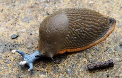 "P7110120-a (photozaki) Tags: slug action attack garden pest ""olympus omd em1"""
