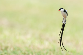 Pin-tailed Whydah (Vidua macroura) in mid-flight courtship ritual
