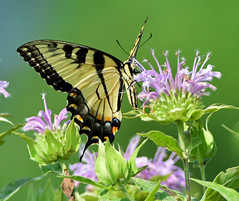 DSC_4932=2TSWTail++ (laurie.mccarty) Tags: butterfly swallowtail easterntigerswallowtail animal outdoor bokeh flower plant nature wildlife