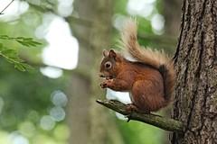 IMG_0381 (LezFoto) Tags: redsquirrel sciurusvulgaris eurasianredsquirrel carniewoods aberdeenshire scotland uk 120400mmf4556dgapooshsm canoneos700d canon sigma