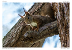 Ecureuil | Squirrel (BerColly) Tags: france auvergne allier vichy animal mammifere mammale ecureuil squirrel arbre tree bercolly google flickr