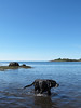 29/52/17 One day in Maine (Hodgey) Tags: dog josh lab water carryingplacecove maine blue sky ocean negativespace 52weeksfordogs