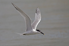 Sandwich Tern (JaneTurner68) Tags: sandwichtern tern bird ythanestuary scottishhighlands scotland canon1dmkiv canon100400mmmkiilens canon