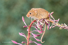Balancing act 500_0275.jpg (Mobile Lynn) Tags: nature rodents harvestmouse captive fauna mammal mammals rodent rodentia wildlife greensnorton england unitedkingdom gb coth specanimal coth5 ngc npc sunrays5