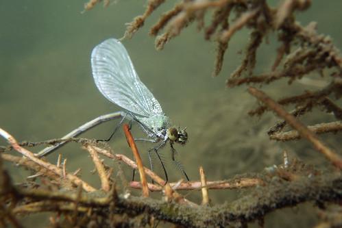 Eiablage unter Wasser - Gebänderte Prachtlibelle (Calopteryx splendens)