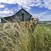 29/52 - idyllic countryside (yookyland) Tags: 52weeksfordogs 2017 misty 2952 dog countryside fields tall grass wildflowers abandoned barn