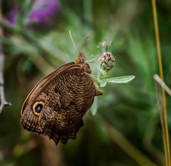 Bud Hug (Portraying Life, LLC) Tags: dbg6 da3004 hd14tc k1 michigan pentax ricoh unitedstates butterfly closecrop handheld nativelighting meadow insect