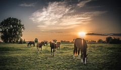 Horse sense, stable thinking (Ingeborg Ruyken) Tags: dropbox zonsopkomst sunrise paarden juli dawn zomer floodplain flickr ochtend 500pxs summer riverforeland empel july natuurfotografie horses morning 2017 maasuiterwaarden