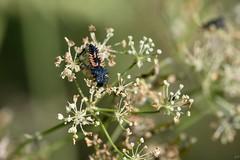 Larve de coccinelle asiatique (apzwee) Tags: macroproxy été jardin insectes m06