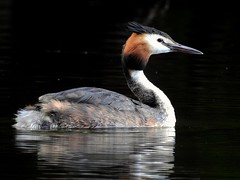 Great crested grebe (PhotoLoonie) Tags: grebe waterbird nature wildlife greatcrestedgrebe bird