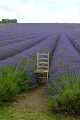 Lavender Sat (dhcomet) Tags: hitchin ickleford herts lavender farm hertfordshire weathered chair purple mauve