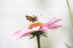 Liquid Lunch (gregmolyneux) Tags: bokeh echinacea flora highkey insects macro purpleconeflower silverspottedskipperbutterfly stafford newjersey unitedstates usa