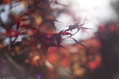 Blurred red (MarieWillPhotographie) Tags: kurashiki 倉敷市 okayama 岡山県 blurred red leaves koyo autumn automne hiver winter christmas discover erable maple trip sunlight feuille canon 5d mark ii 50mm