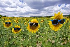 New friends (valero28) Tags: sergiovalero nikon d750 1424 sol campo fileds landscape paisaje sunny sunflower girasol alicante españa