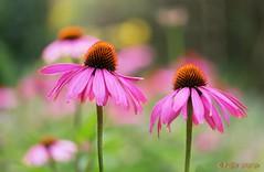 Flower power (www.petje-fotografie.nl) Tags: heemtuinarnhem presikhaafarnhem bloemenenplanten macro