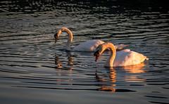 Swans (jasty78) Tags: swan swans cygnets sunrise loch golden goldenhour lochore lochoremeadows scotland nikon d7200 tamron150600mm