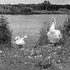 20170713_165837-X-T2-6272.jpg (Erwin Schoonderwaldt) Tags: filmsimulation castricum swans acros netherlands bw fujifilm dunes