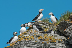 Puffin Gathering (A.Joseph Images) Tags: puffin mingan archipelago wildlife waterfowl nature animal bird canada quebec d7200 nikon nikkor200500mmedf56vr