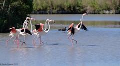 Flamingos. ((Paolo P)) Tags: saintesmariesdelamer camargue pontdegau parcoornitologico fenicotteri flamingos francia france ornithologicalpark