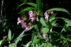 Fleurs poussant en milieu humide (alainlecroquant) Tags: coteauxdesaintpédebigorre saintpédebigorre coteaux abbatiale palombière randonnée hautespyrénées vaches lavoir ferme cheval vtt fleurs