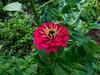 Zinnia (Elise de Korte) Tags: fr france frankrijk ldf lafrance bloei bloeien bloem bloemen fleur fleurs flower flowering flowers garden jardin plant tuin zinnia