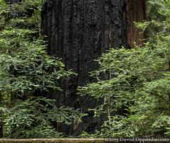 Montgomery Woods State Natural Reserve (Performance Impressions LLC) Tags: montgomerywoodsstatenaturalreserve statepark forest redwoods redwoodforest ukiah mendocino mendocinocounty vacation travel 15670791302 sequoiasempervirens coastalredwood nature montgomerywoods fire forestfire burnt burntbark california sequoia giant tall unitedstates usa northerncalifornia