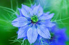 (ErrorByPixel) Tags: flower flora blue green nature blur closeup 100mm macro pentax k5 errorbypixel handheld