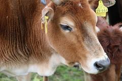 Zebu Bertha (excellentzebu1050) Tags: zebu zebucattle miniaturezebu closeup farm animal animalportraits africancattle coth5 sunrays5