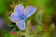 Polyommatus icarus (jotneb) Tags: natureza animais insectos lepidoptera borboletas vidaselvagem arlivre