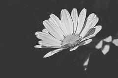 (morganjellen) Tags: blackandwhite daisy flower macro matte