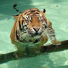 Zen Tiger (greekgal.esm) Tags: sumatrantiger tiger bigcat cat feline animal mammal carnivore cj castrojr losangeleszoo lazoo losangeles griffithpark california sony rx10m3 rx10iii
