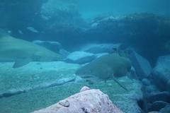 Grey Nurses (sarah.handebeaux) Tags: bondi diving visibility fantastic july shark grey nurse sand tiger ragged tooth sharks big