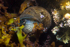 Periwinkle (Shure Media) Tags: rockport massachusetts old garden beach hermit crab green barnacle nudibranch rock