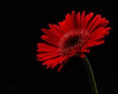 Red Gerbera Daisy (Anthony Leveritt) Tags: nikond610 sb700 flower gerberadaisy red flash