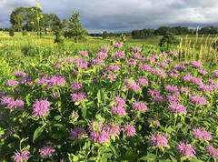 Bergamot Patch (eddee) Tags: wisconsin wauwatosa milwaukeecounty countygrounds urban nature environment wildflowers blossom flowers bloom bergamot beebalm