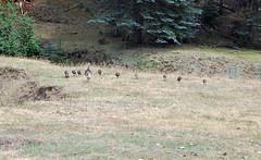 WildTurkeys (bkamerman) Tags: wildturkeys