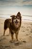 SZP_8859_pslr5 (Lakeside Annie) Tags: 2017 20170719 aussie australianshepherd bethanybeach bethanybeachde bethanybeachdelaware d7100 delaware denali july19 leannefzaras nikon nikond7100 redtri redtriaussie sarazphotography sigma sigma1770mm wednesday beachdog dog sandynose sandypaws beach delawarebeach