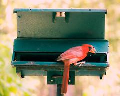 Cardinal Crunchin' Down (Patrick Whittington) Tags: cardinal birdfeeder summer alabama pentax pentaxk70