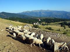 Sheep drink beneath Monte Gorzano (markhorrell) Tags: cornopiccolo cornogrande gransasso apennines abruzzo italy hiking hillwalking scrambling