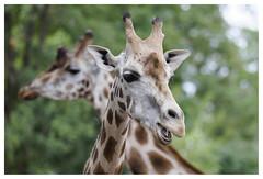IMG_76994_DxO11_A (Eric Hubert Bierset) Tags: pairidaiza parc brugelette girafe