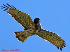 Arching (Ted Humphreys Nature) Tags: shorttoedeagle eagles raptors birdofprey spain cabaneros tedhumphreysnature