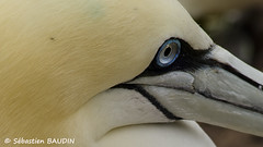 Un oeil de fou (Seb BAUDIN) Tags: nature canada québec gaspésie oiseaux île de bonaventure fou bassan d7000