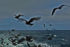 "Hitchcock's ""The Birds."" (cbrozek21) Tags: ocean sea pacific water gulls birds flyingbirds birdflock"