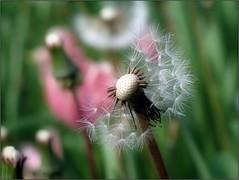 (Tölgyesi Kata) Tags: budaiarborétum withcanonpowershota620 garden tavasz spring budapest dandelion pitypang gyermekláncfű taraxacumofficinale macro blossom